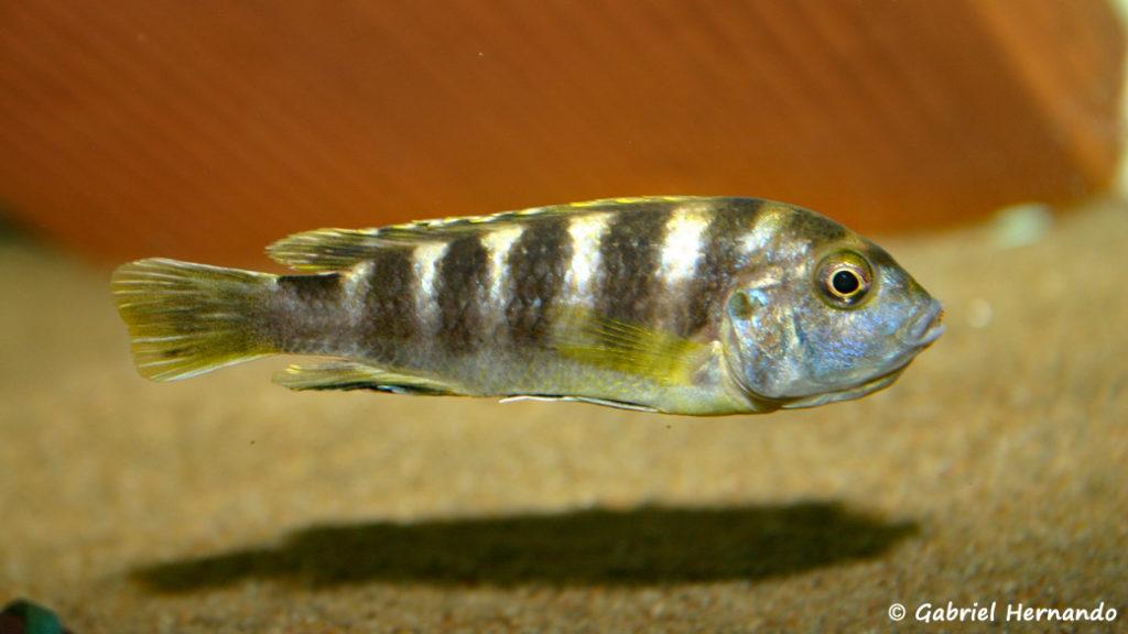 "Labidochromis sp. ""Perlmutt"" femelle en incubation (chez moi, août 2004)"
