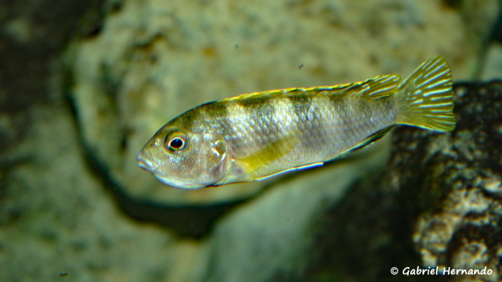"Labidochromis sp. ""Perlmutt"" femelle en incubation (chez moi, juin 2004)"