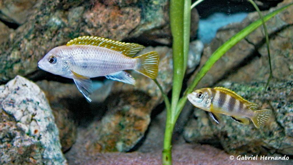 "Labidochromis sp. ""Perlmutt"" (chez moi, juin 2000)"