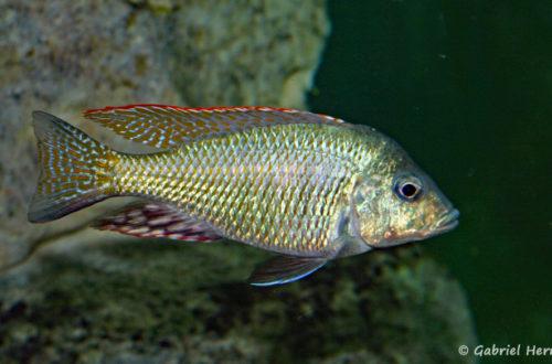 Lethrinops lethrinus (Club aquariophile de Vernon, juin 2004)