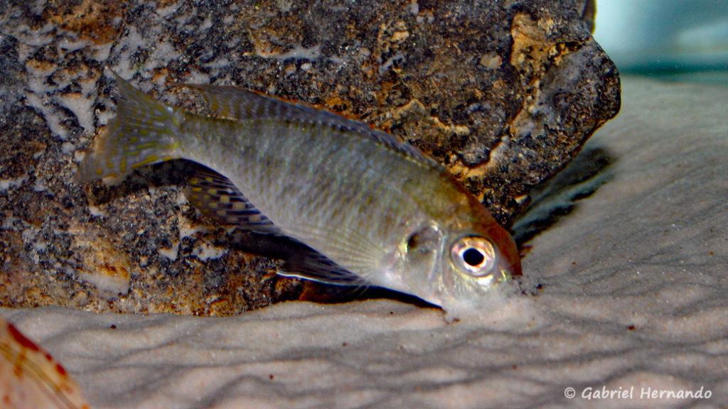 "Lethrinops sp. ""Red Cap Tanzania"", mâle (chez moi, juin 2004)"