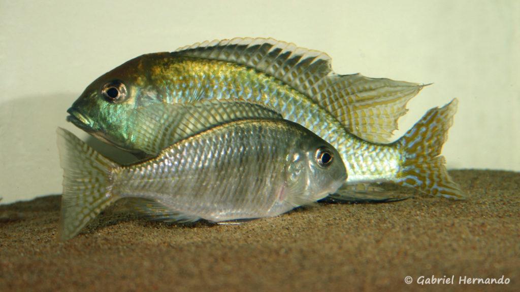"Lethrinops sp. ""Red Cap Tanzania"", en phase de reproduction (chez moi, mars 2006)"