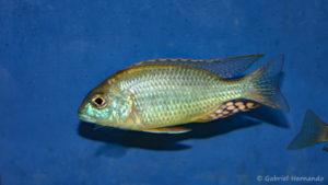 "Lethrinops sp. ""mbasi"" (Verduijn Cichlids, mars 2006)"
