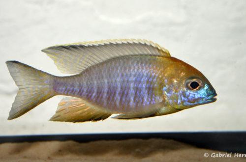 "Lethrinops sp. ""nyassae Mbawa"", mâle (chez moi, novembre 2004)"