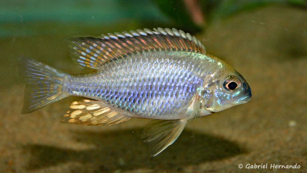 """Lethrinops sp. """"nyassae Mbawa"""", mâle (chez moi, octobre 2007)"""
