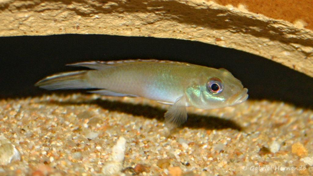 Nanochromis parilus (club aquariophile de Vernon, septembre 2007)