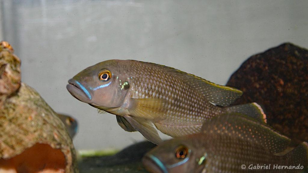Neolamprologus callipterus (Verduijn Cichlids, Pays Bas, mars 2006)