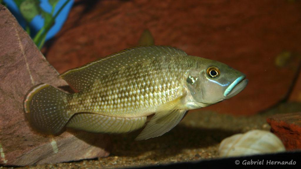 Neolamprologus callipterus (chez Gilles Garrier, décembre 2006)