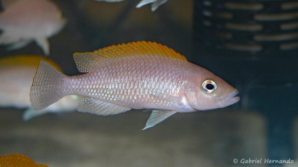 Neolamprologus caudopunctatus (Vichy, congrès AFC 2007)