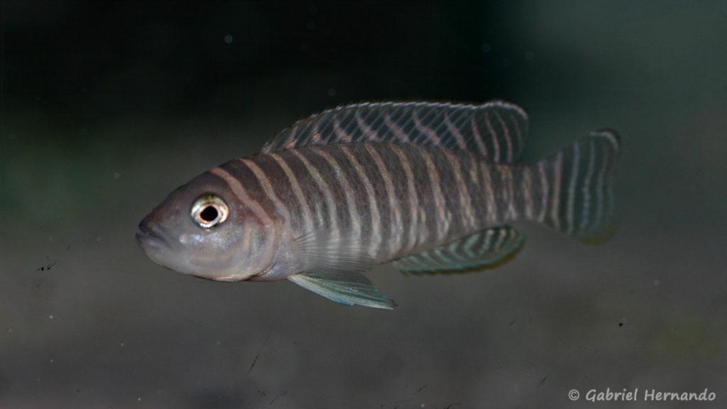 Neolamprologus similis (Aqua Treff, mars 2011)