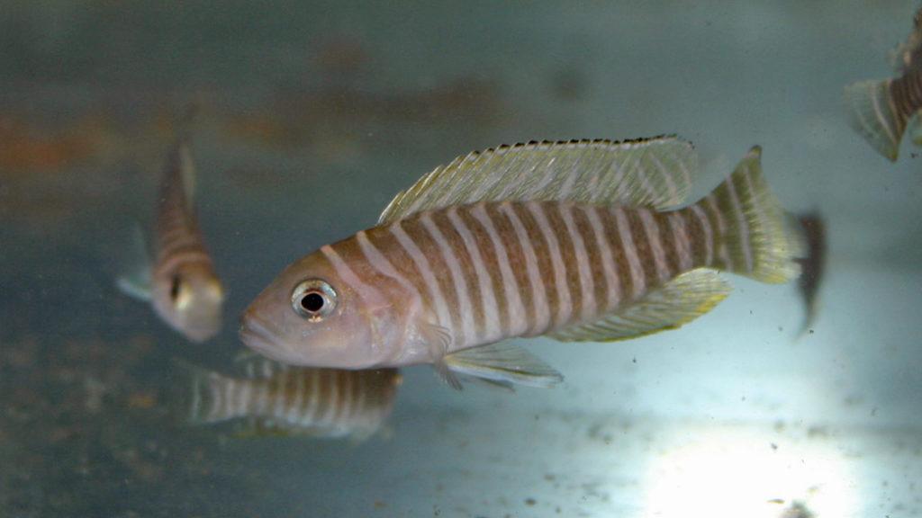 Neolamprologus similis (Vichy, congrès AFC, octobre 2005)