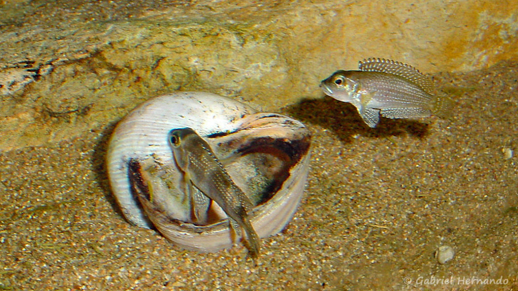 Couple de Neolamprologus stappersi (chez moi, mai 2004)