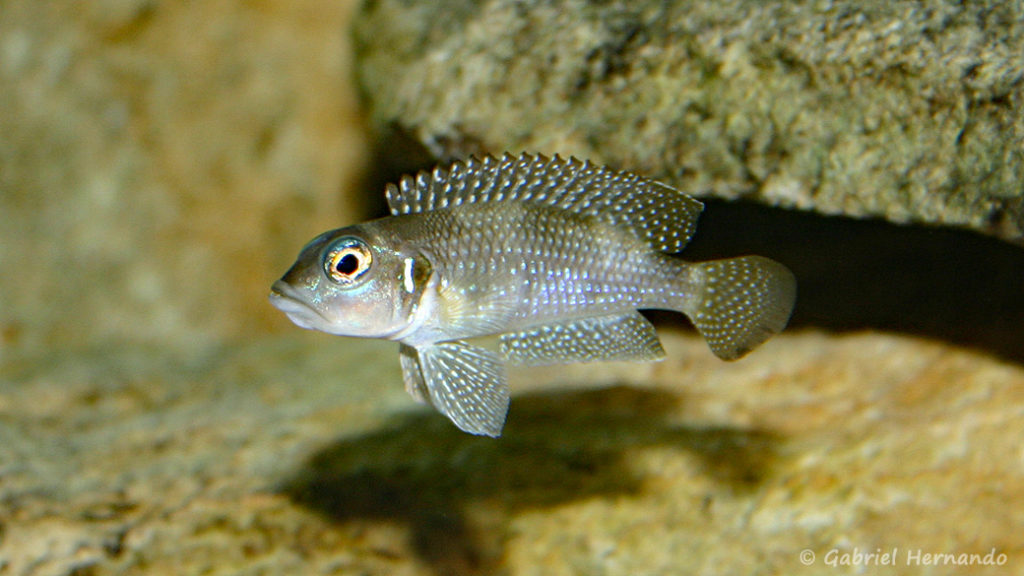 Neolamprologus stappersi (chez moi, juin 2004)
