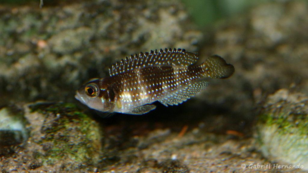 Neolamprologus stappersi (chez Mike Pfann, Suisse, décembre 2008)