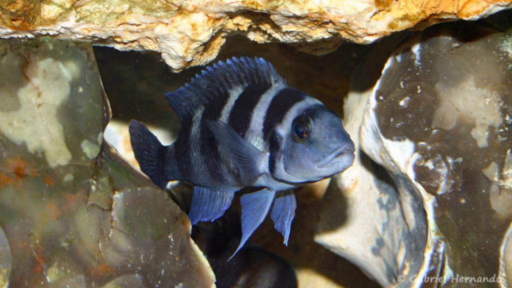Neolamprologus tretocephalus (chez Gilles Garrier, décembre 2006)