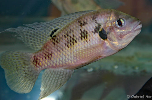 Pelmatochromis nigrofasciatus (Vichy, congrès AFC 2007)