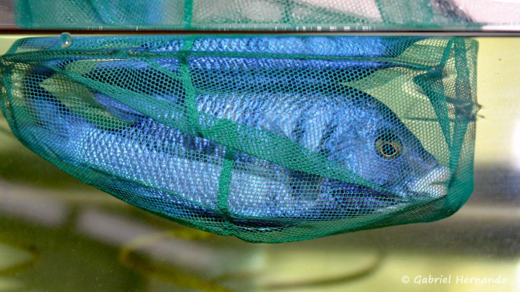 Placidochromis phenochilus dans sa prison improvisée