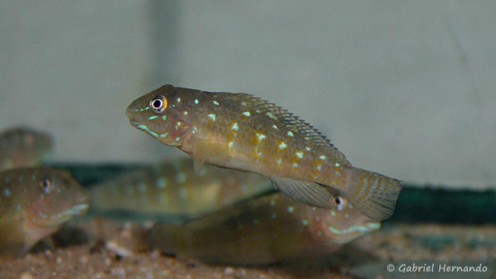 Spathodus erythrodon (Verduijn Cichlids, Pays Bas, mars 2006)