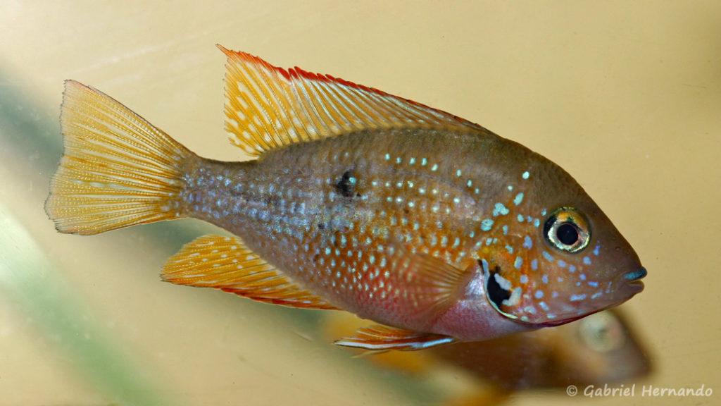 Thorichthys maculipinnis (Hobby zoo Tillman, Duisbourg, mars 2009)an, mars 2009)