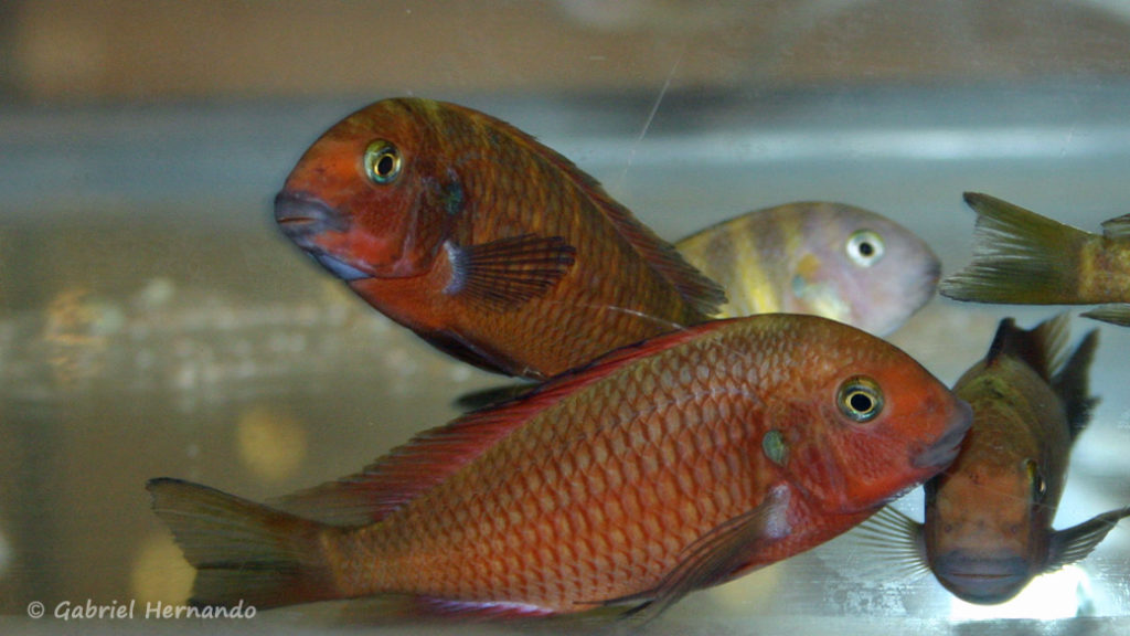 "Tropheus sp. ""Red Chimba"" (Arlon, congrès ABC, mai 2007)"
