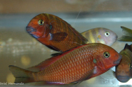 "Tropheus sp. ""Red Chimba"" (Arlon, congrès ABC, mai 2007)"