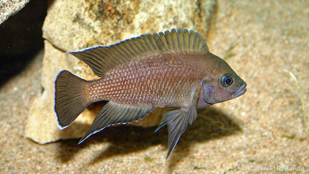 Variabilichromis moori (chez moi, janvier 2006)