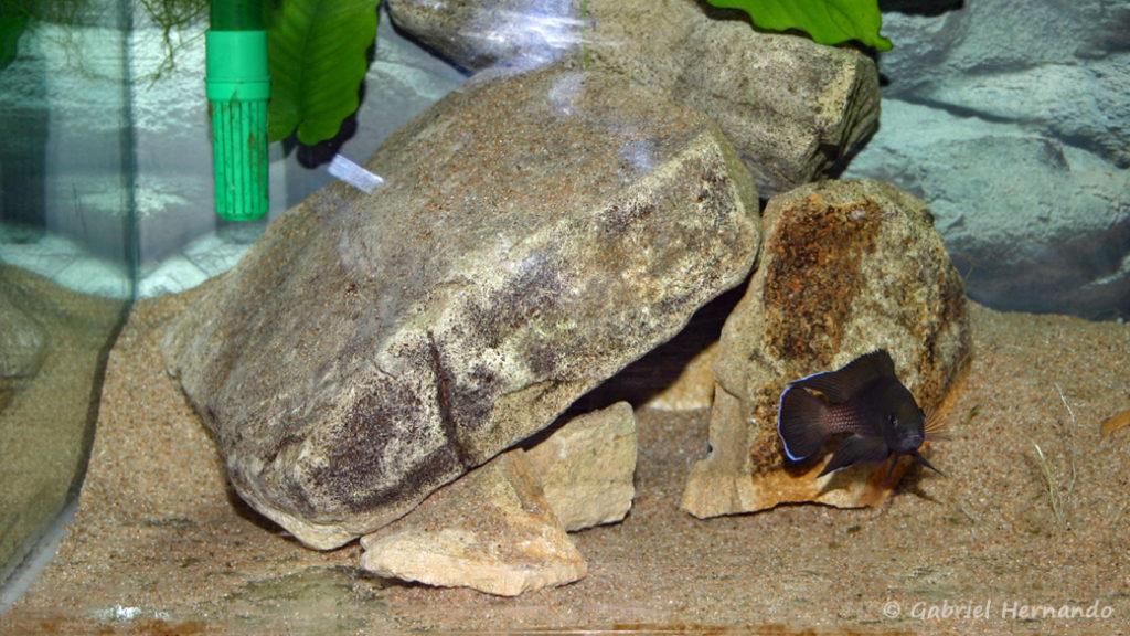 Variabilichromis moorii, site de ponte au pied de l'amas rocheux (chez moi, janvier 2006)