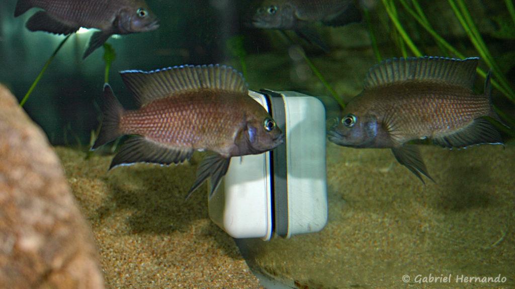 Variabilichromis moorii, attaque de l'aimant (chez moi, janvier 2006)