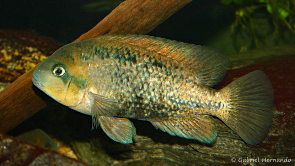 Vieja melanurus (Club aquariophile de Vernon, novembre 2007)