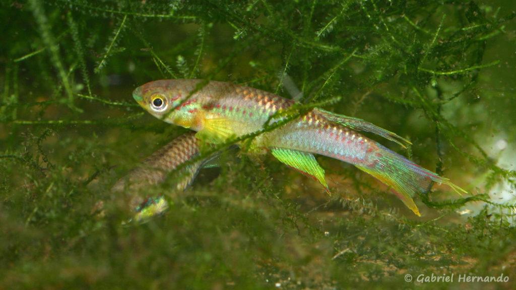 Chromaphyosemion volcanum, variété de Ekondo (Club aquariophile de Vernon, décembre 2007)