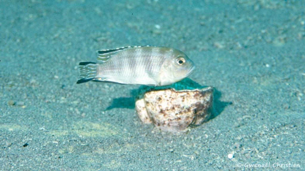 Pseudotropheus lanisticola, in situ à Ngara