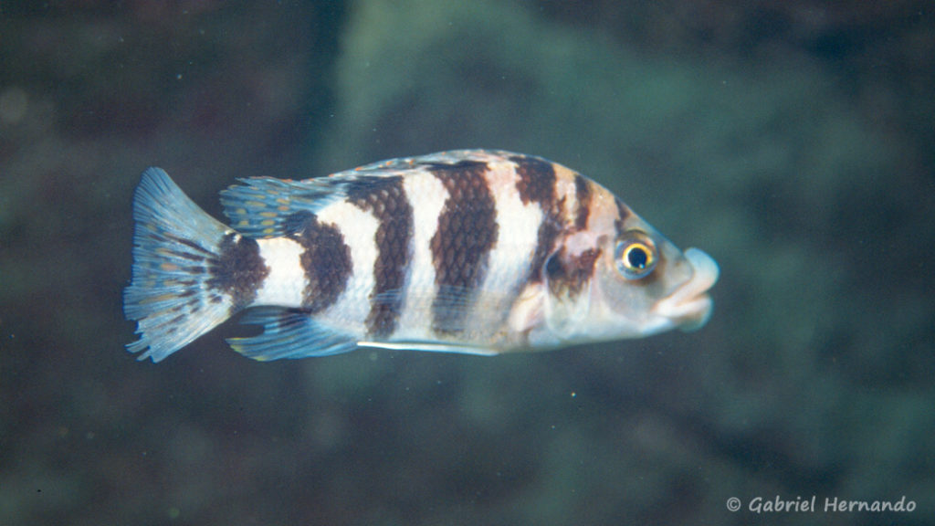 Placidochromis milomo, in situ