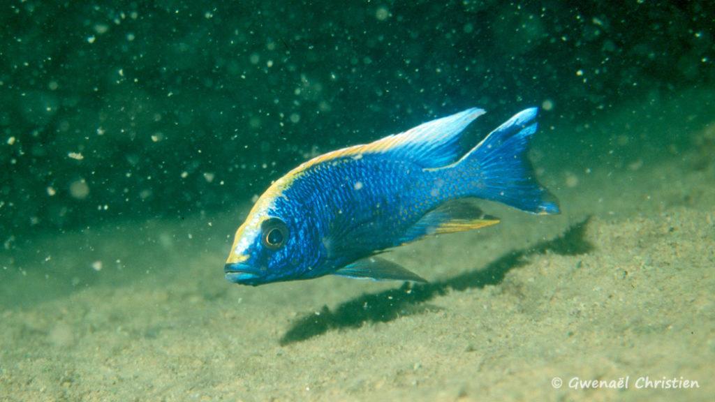 Otopharynx lithobates, mâle in situ à Zimbawe Rock