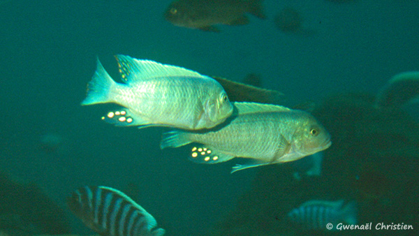 Maylandia estherae, mâles in situ à Minos Reef