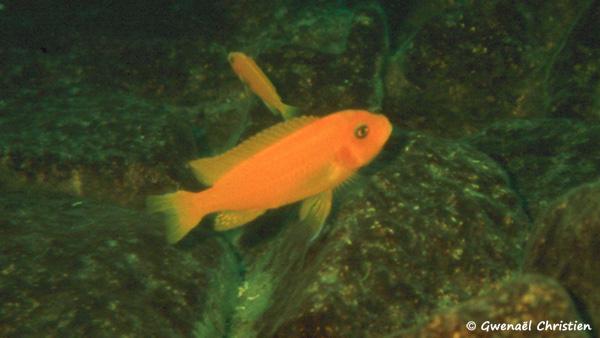 Maylandia estherae, femelle O, in situ à Minos Reef