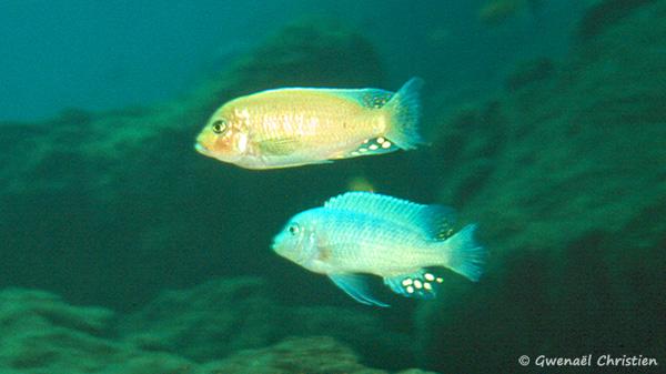 Maylandia estherae, mâles, dont un O, in situ à Minos Reef