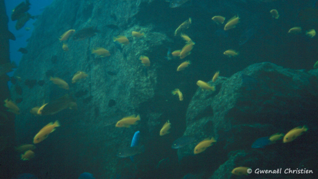 Maylandia estherae, in situ à Minos Reef