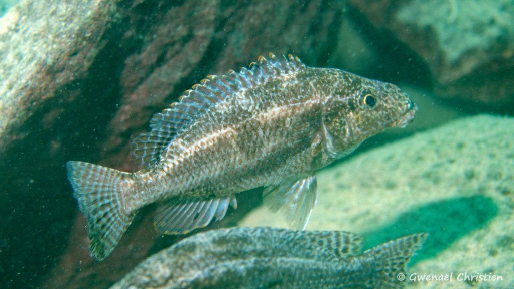 Nimbochromis linni, in situ à Mbenji Island