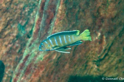 "Pseudotropheus sp. ""elongatus mbenji blue"", mâle in situ à Mbenji Island"