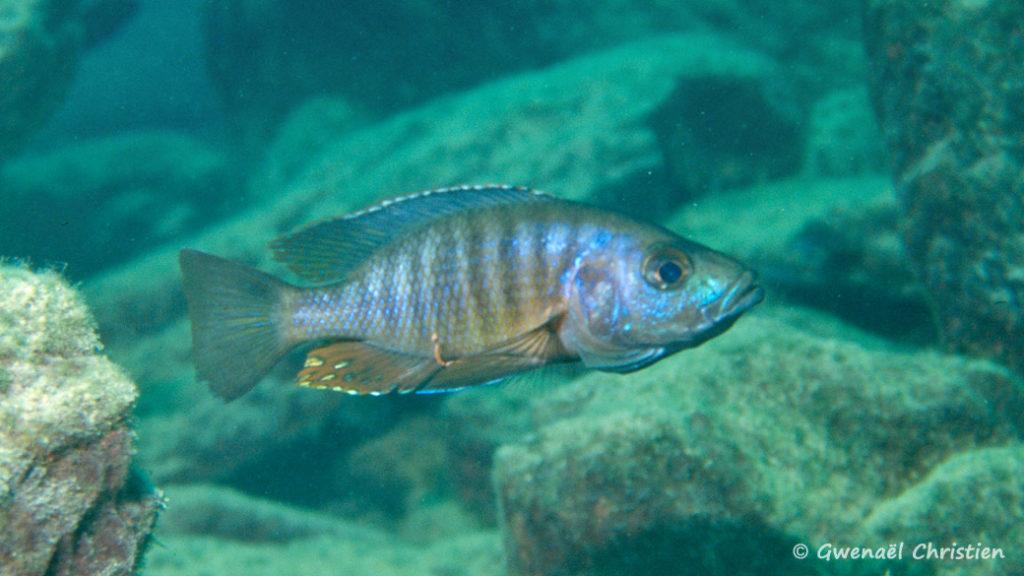 Stigmatochromis modestus, in situ à Mbenji Island