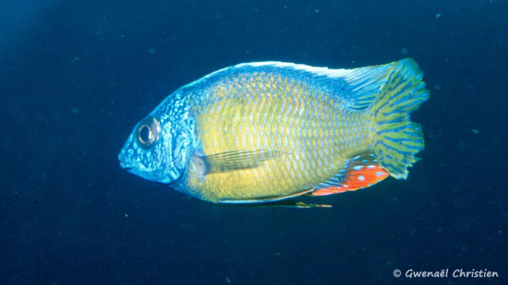 "Protomelas sp. ""Steveni Taiwan Reef"", in situ à Taiiwan Reef"""