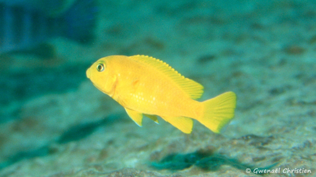 Pseudotropheus saulosi, femelle, in situ à Taiwan Reef