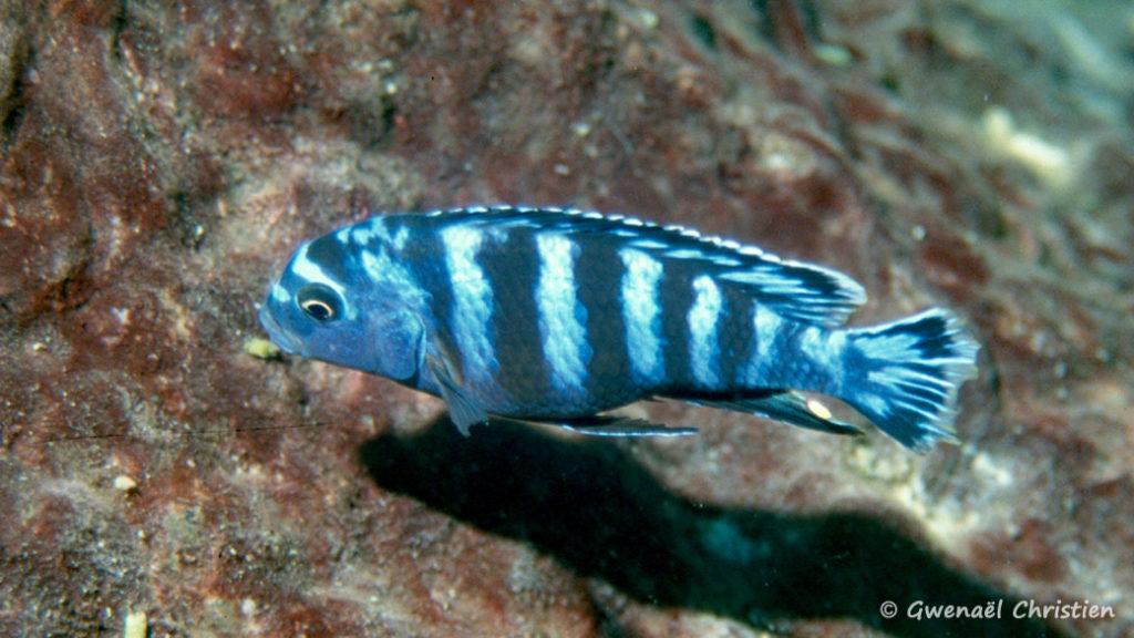 Pseudotropheus saulosi, mâle, in situ à Taiwan Reef