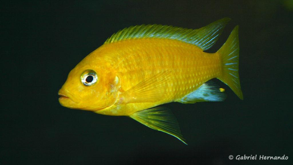 Maylandia barlowi, mâle de Mbenji Island (Club aquariophile de Vernon, janvier 2008)