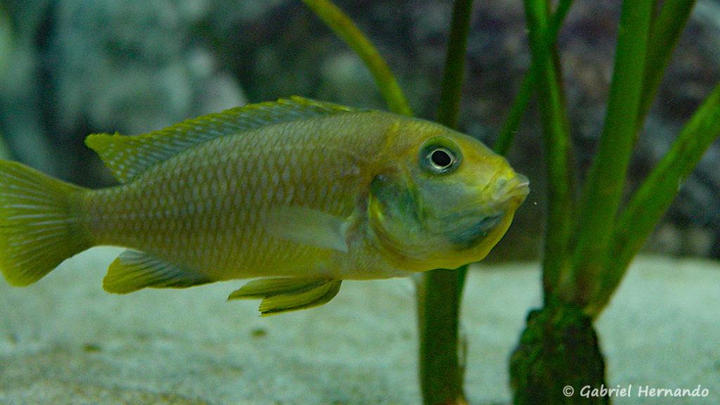 Maylandia barlowi, femelle de Mbenji Island en incubation (Club aquariophile de Vernon, mars 2004)