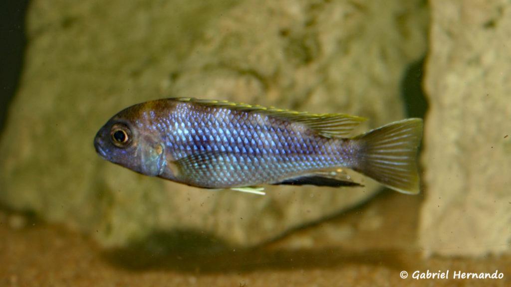 Pseudotropheus elegans, mâle de Likoma (Club aquariophile de Vernon, décembre 2006)
