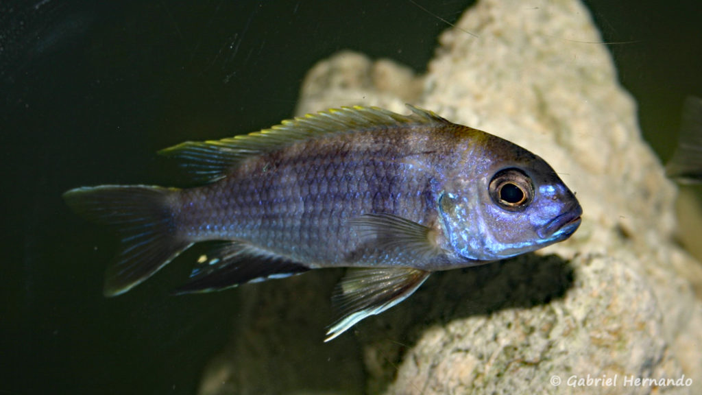 Maylandia elegans, mâle de Likoma (Club aquariophile de Vernon, décembre 2006)