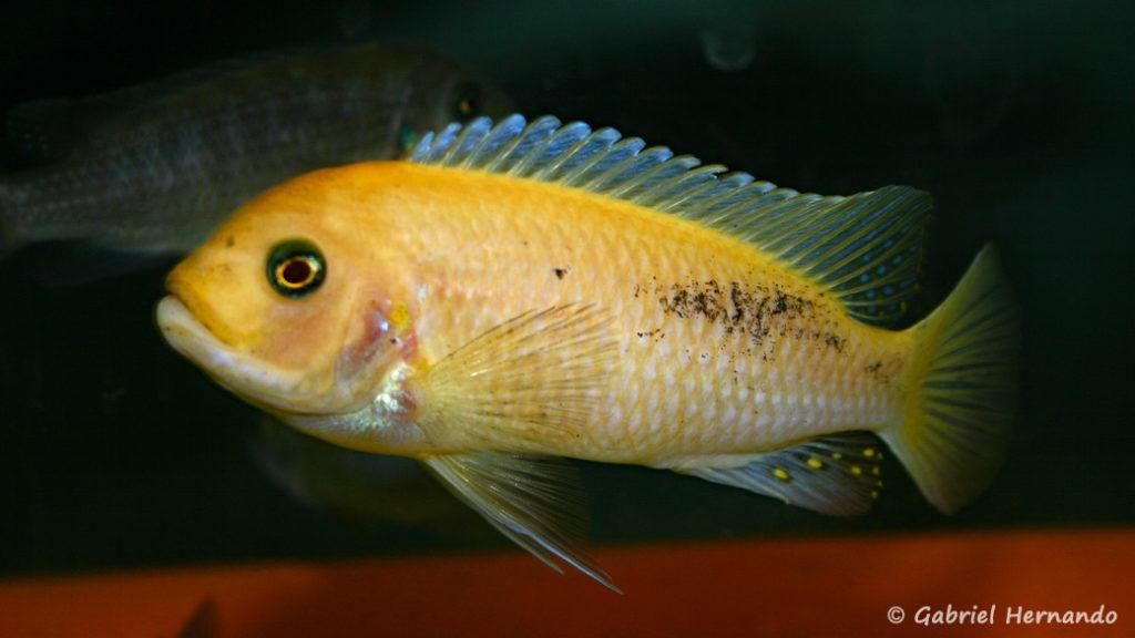 Maylandia estherae, mâle O (Abysse, février 2005)