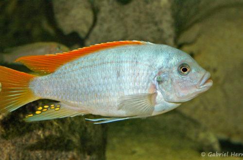 Maylandia greshakei (Club aquariophile de Vernon, août 2004)