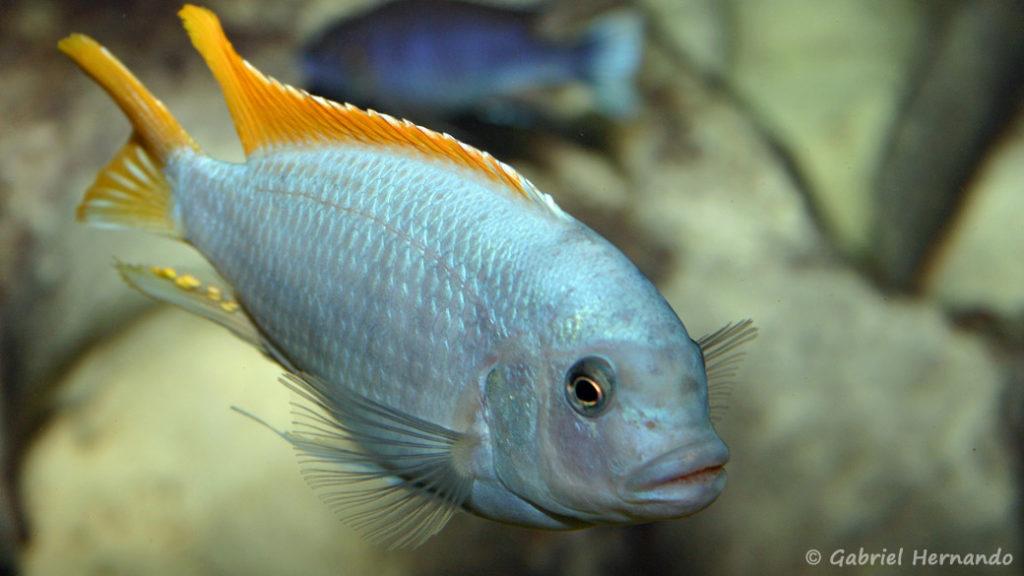 Maylandia greshakei (Club aquariophile de Vernon, juillet 2004)